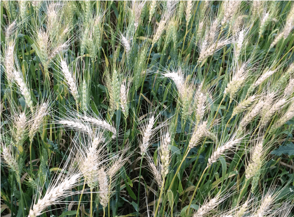Cross-continental disease and crop modeling collaborations to beat back wheat blast