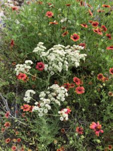 Tall white yarrow flower in middle of lots of red firewheels