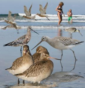 Bar-tailed_Godwit_From_The_Crossley_ID_Guide_Eastern_Birds