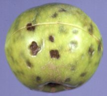Apple-storage-disorders-lenticel-blotch-pit-on-Cox