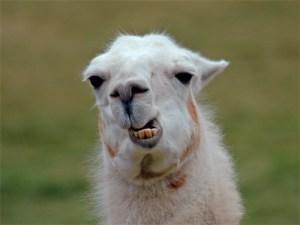 white-llama