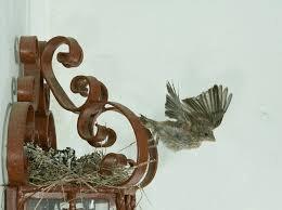 fledges