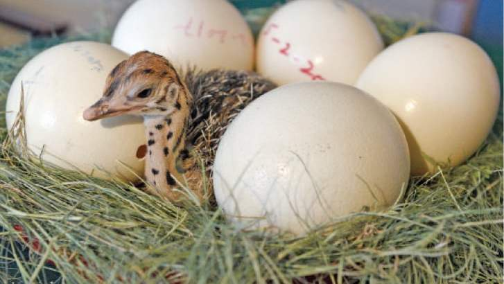 Healthy ostrich chicks, hatching eggs and other Birds for sale