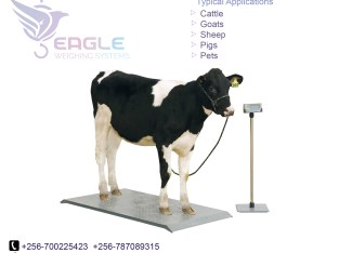 Cattle weighing scales for cows,sheep,goats,pigs