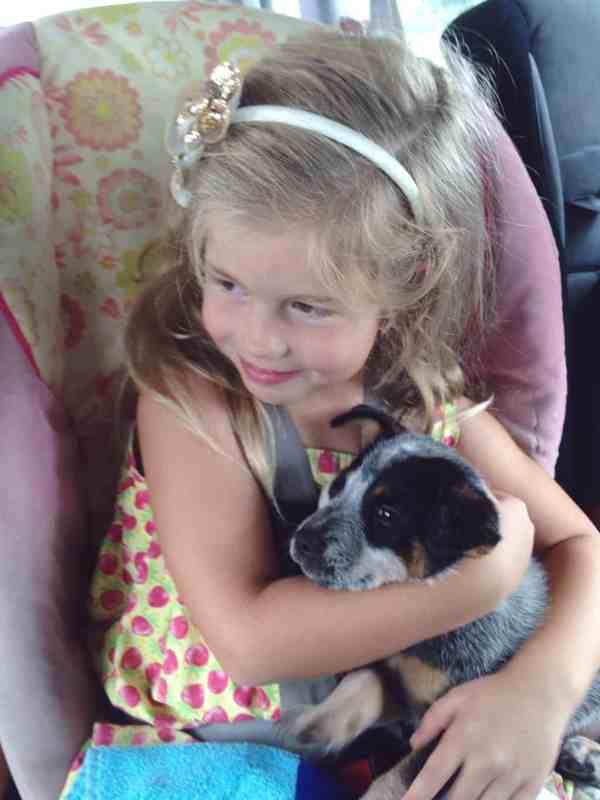 New Blue Heeler Pup