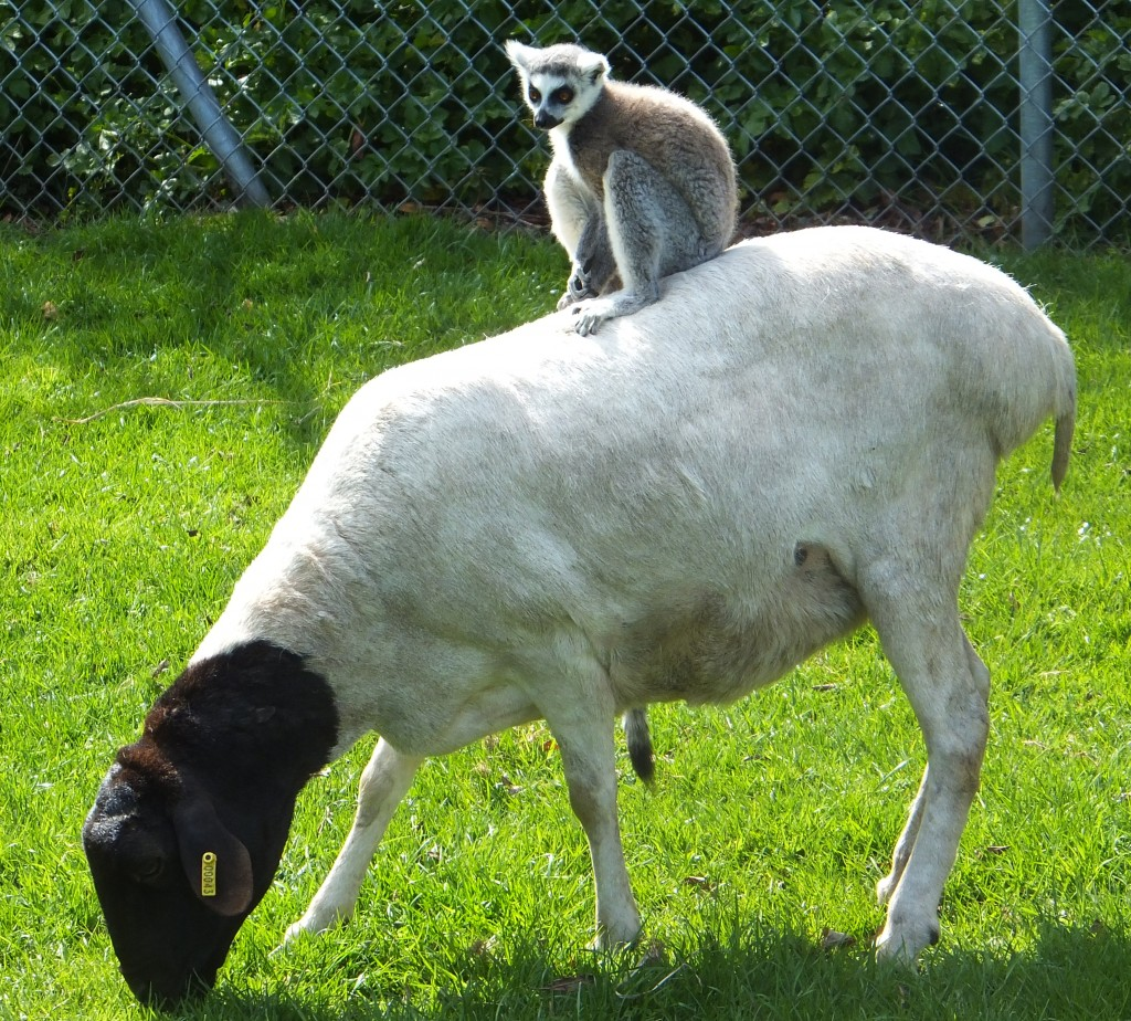 A ring tailed lemur riding on the back of a sheep at Africa Alive