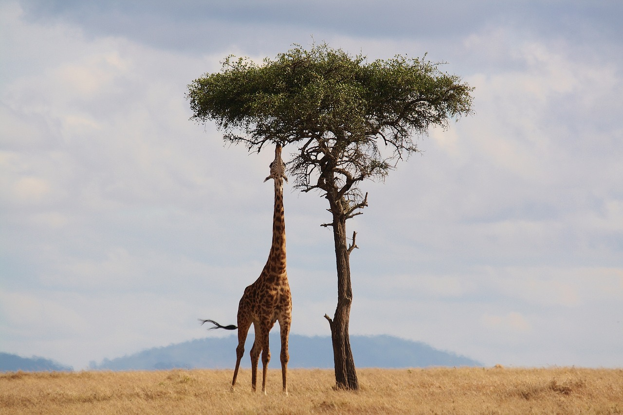 Top Tips For Going On Safari you may see a giraffe eating from the top of the tree