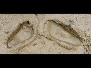 Sasquatch Sounds Bigfoot Footprints Squatch Tracks & Audio Recording May 2019