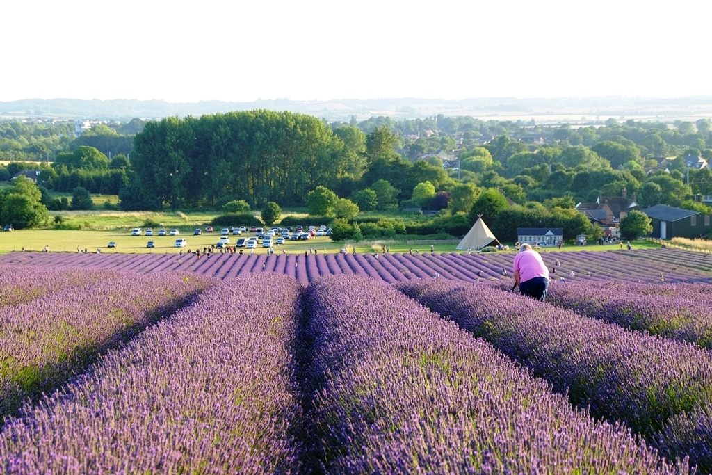 Hitchin lavender from the top of the hill