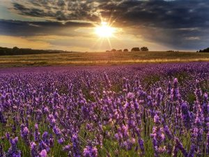 My ThreeGallery submission of the Hitchin Lavender fields at sunset