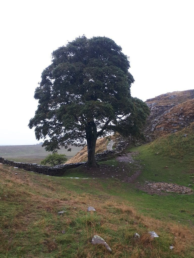 The famous Sycamore Gap tree as seen in 'Robin Hood: Prince of Thieves'