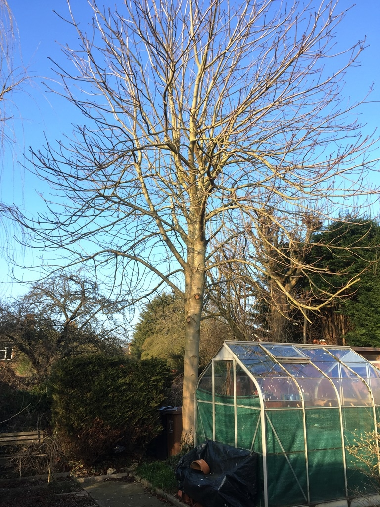 The Conker tree in 2017 behind the greenhouse