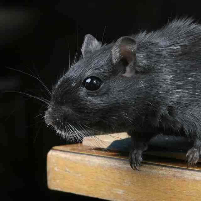 Top 10 Best Rat Poisons In 2018 (Reviews And Advanced Buyer's Guide)