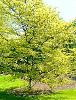 spring tree by Stanley Zimny