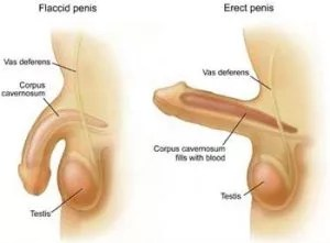Penis and low testosterone small