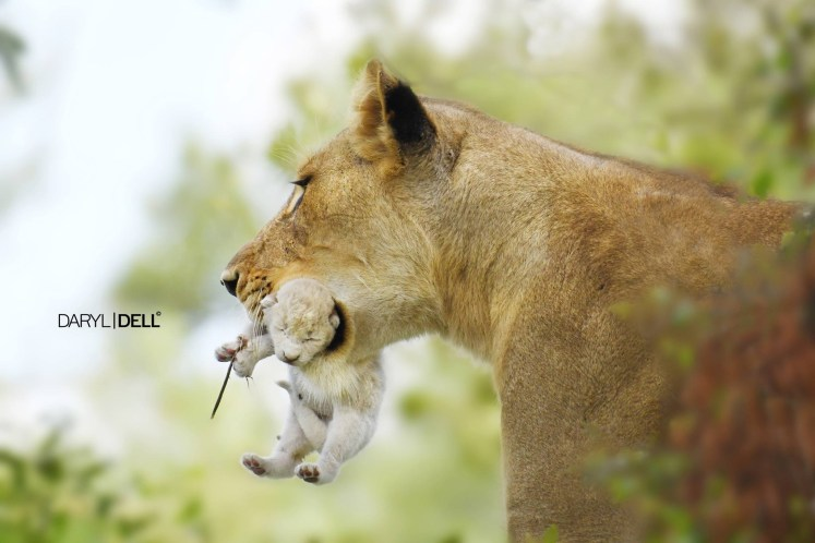 Another White lion born in the Kruger