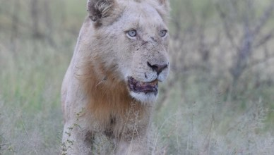 Update of the White Lion in Kruger