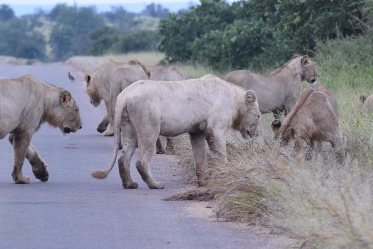 Update on the White Lion of Kruger