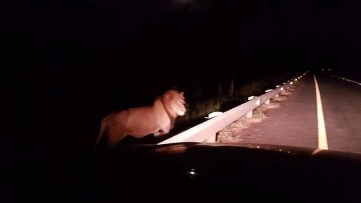 Lion Escapes from Kruger National Park