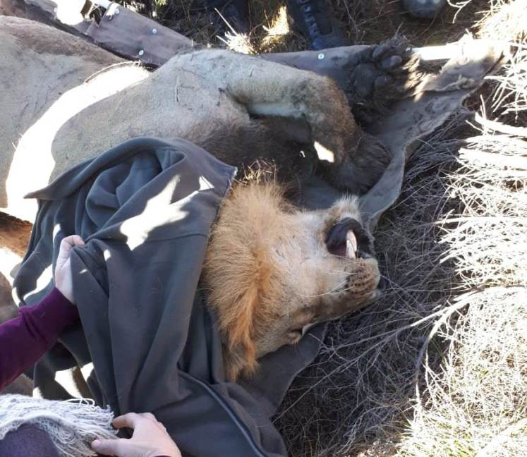 Escaped Kruger Lion Finally Captured