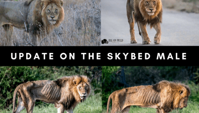 Update on the Skybed Male Lions