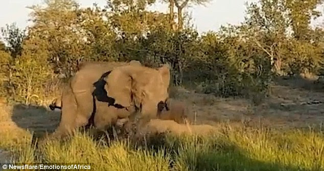 angry elephant bull attacked a rhino
