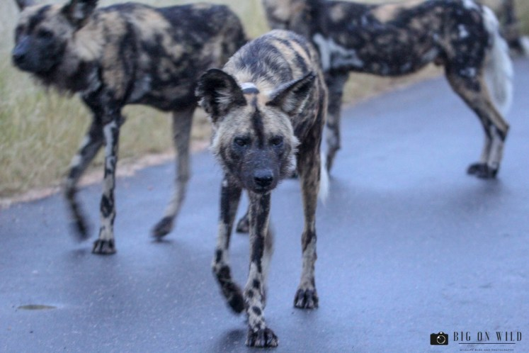 10 Wild dogs Facts