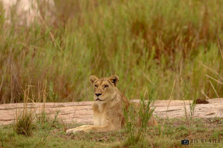 Kruger Trip December 2018 - lioness on the S30, Kruger national park