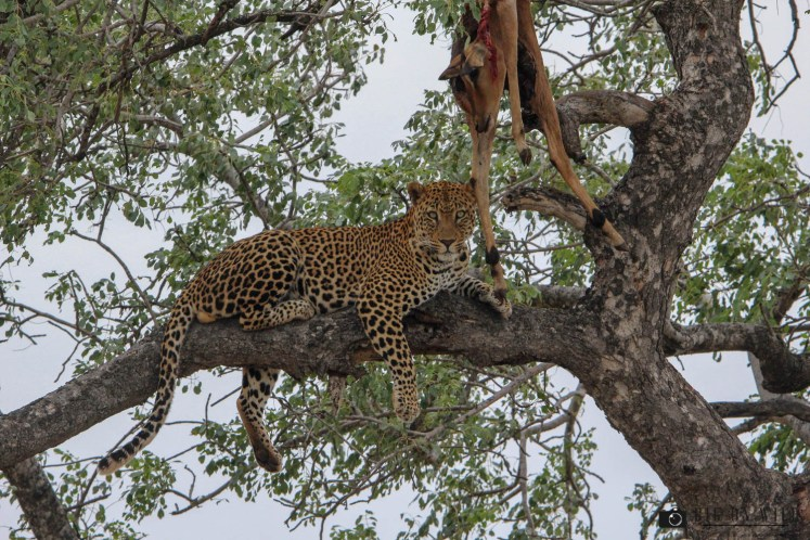 Leopard with a kill in a tree in the Kruger National Park - Africa's most successful predators