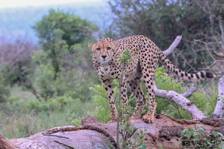 Cheetah in the Kruger National Park - Africa's most successful predators