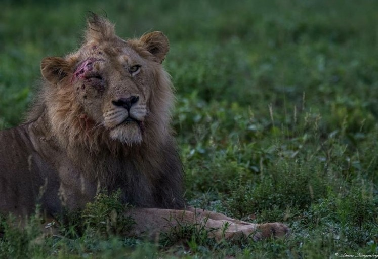 Territorial fight gets the best of the Mbiri Male Lion