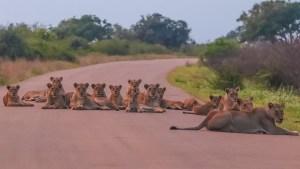 Biggest lion roadblock in Kruger