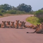 Biggest lion roadblock in Kruger