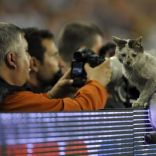 A cat sits on the advertising board during the UEFA Cup final soccer match between Werder Bremen and Shakthar Donetsk at Sukru Saracoglu stadium in Istanbul