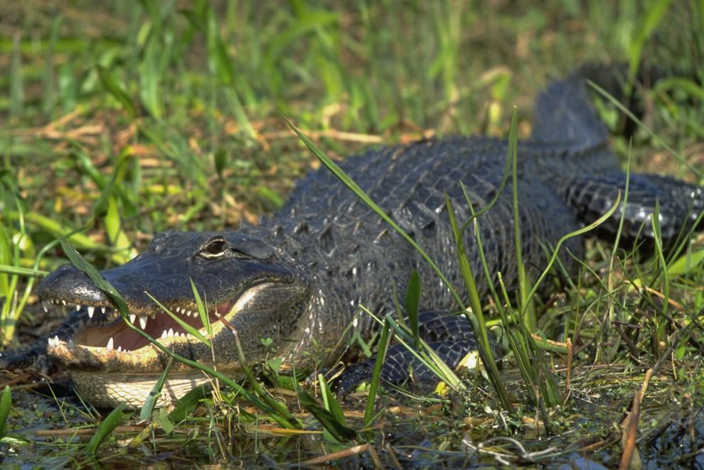 1617 990x662 Обои для рабочего стола: Крокодилы