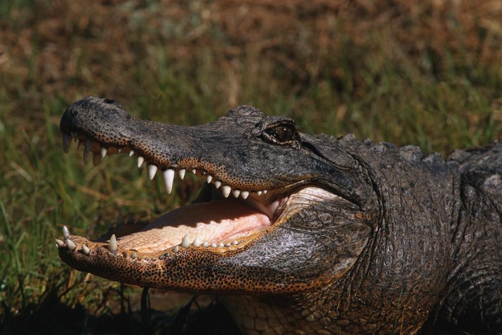 928 990x660 Обои для рабочего стола: Крокодилы