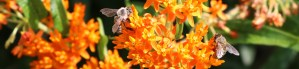 Butterfly weed with two honeybees.