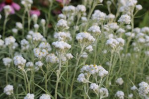 Dozens of pearly everlasting blossoms viewed from the side.