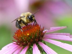 photo bee on purple coneflower