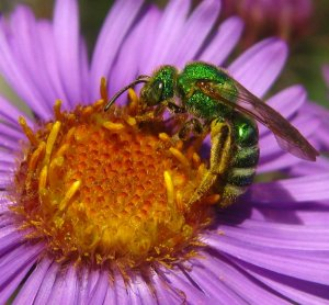 sweat bee photo