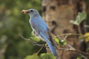 Male bluebird with grasshopper.