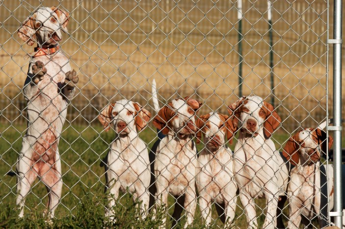 """Hopefuls in the making"" seek attention at the kennel fence. English Pointer pups bred specifically for field trials by Tom and Shannon Nygard of Circle Kennels in Bozeman, Montana."
