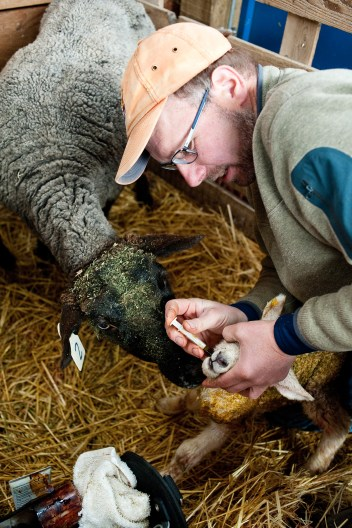 Richard Harjes gives a newborn lamb a dose of a molasses mixture while the ewe begins to clean the lamb.