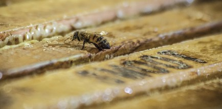 Smoot Honey uses Italian and Carniolan honey bees, brought in each year fresh from California's orange harvest. The bees readily outnumber the workers in the extraction plant, seemingly overseeing the processing of their precious gold.