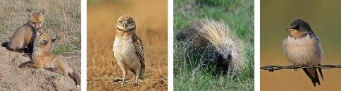 Red fox, burrowing owl, porcupine and barn swallow; photos by Dennis Lingohr