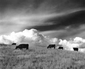 """Five Cows"" Near Wilsall"