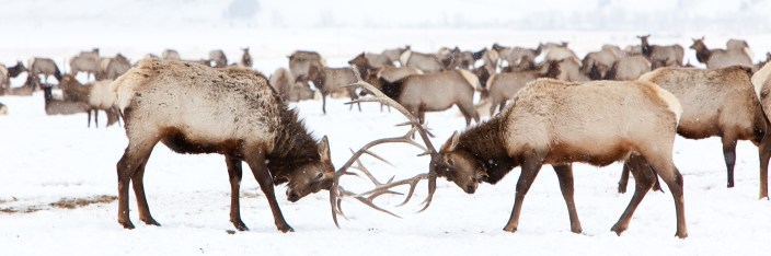 Two bull elk spar at the National Elk Refuge outside of Jackson, Wyoming, which was created to provide a winter sanctuary for the animals in 1912. The practice of winter feeding of the elk has been questioned due to health concerns within the herd as case