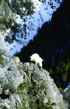 Our American mountain goat may be the most accomplished mountaineer to ever live. Photo by Bruce Smith