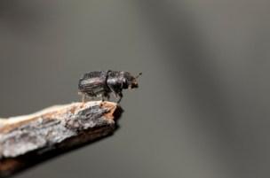 Pine-Beetle_web.jpg