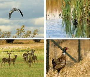 Clockwise from upper left: A heron flies over the Ruby River. • Waterfowl thrive with excellent cover in the restored wetlands. • Ring-neck pheasant find ample cover throughout the ranch's 1,100 acres. • Whitetail deer graze at Woodson Ranch.
